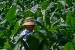 Dominican Tobacco leaves farmer