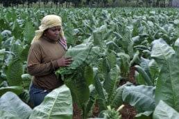 tobacco harvester scaled uai