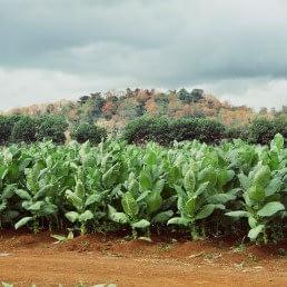 adult tobacco uai