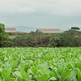 field of tobacco uai
