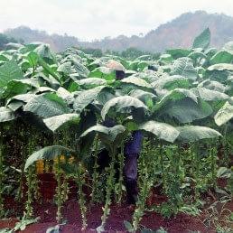 harvesting tobacco uai