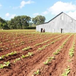 Tobacco plants harvest