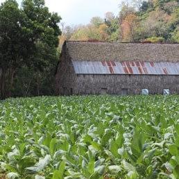 tabaco plantacion uai