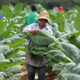 tabaco plantacion4 uai