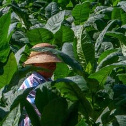 Tamboril Tobacco Harvester