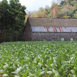 Tamboril fields of tobacco