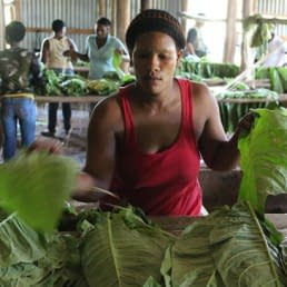 Working the tobacco leaves