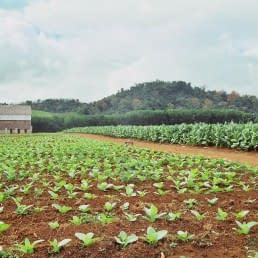 Tamboril Tobacco plants