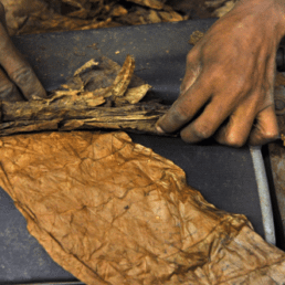 Handrolling a cigar. e1598996294197 uai